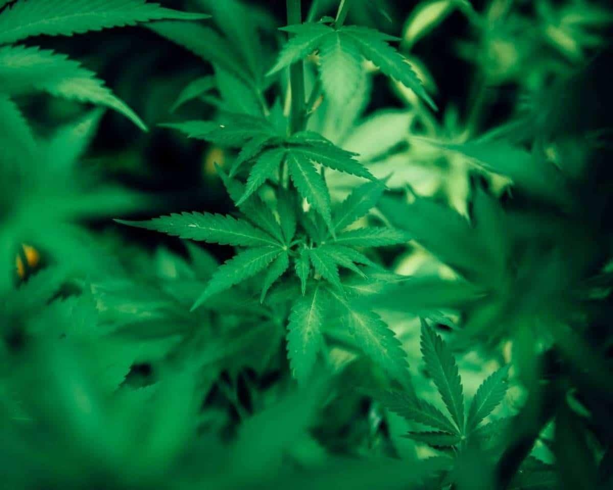 Nación Cannabis | El cáñamo y la marihuana: ¿son lo mismo?
