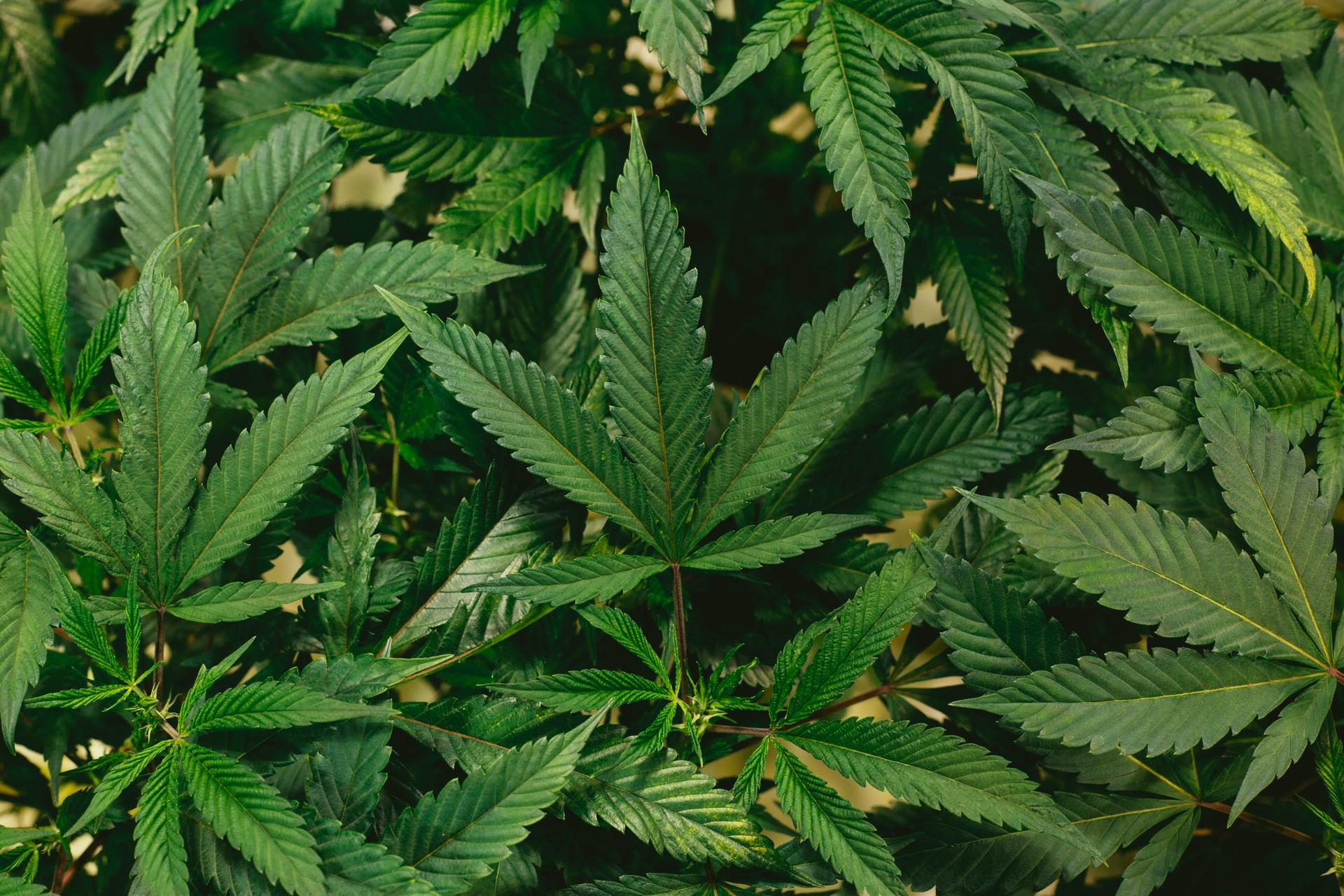 Nación Cannabis | Cómo cultivar marihuana al aire libre
