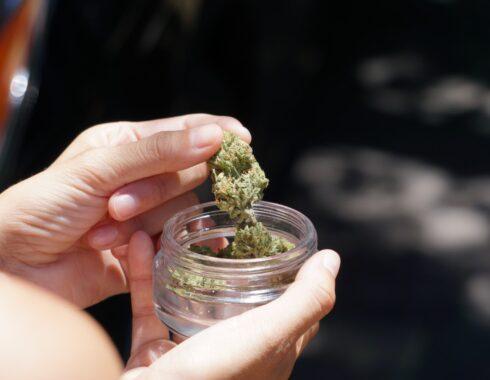 el cañamo y la marihuana