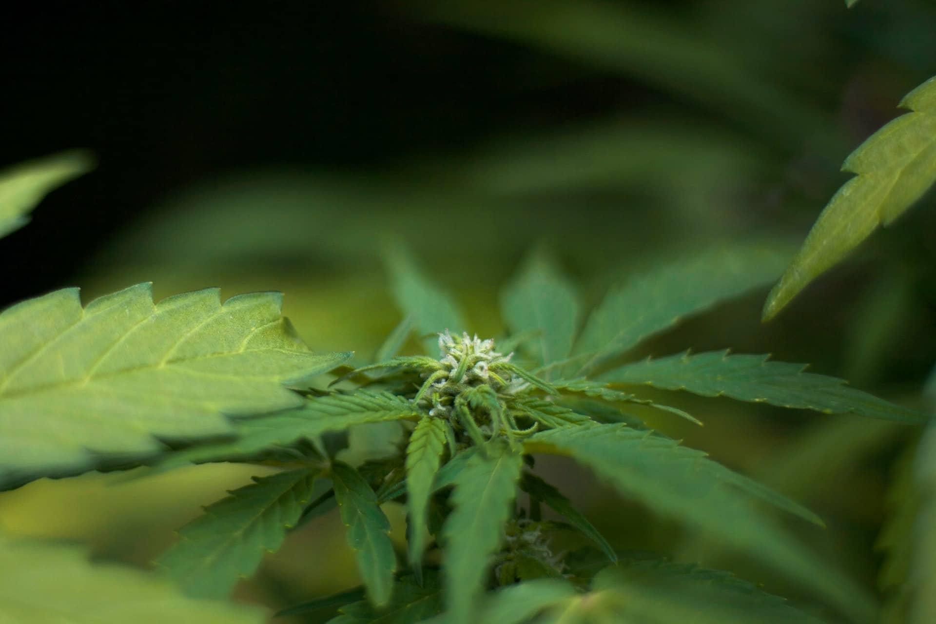 Nación Cannabis | Qué tipos de cepas de marihuana existen en el mercado