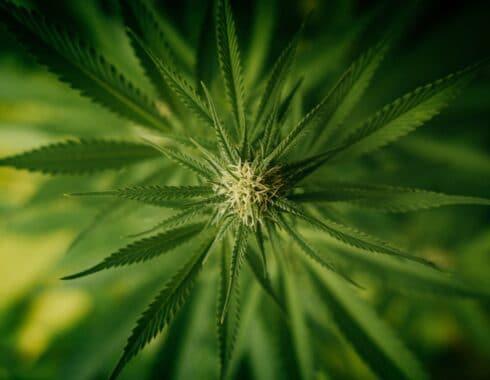 cuanto-tiempo-se-tarda-la-marihuana