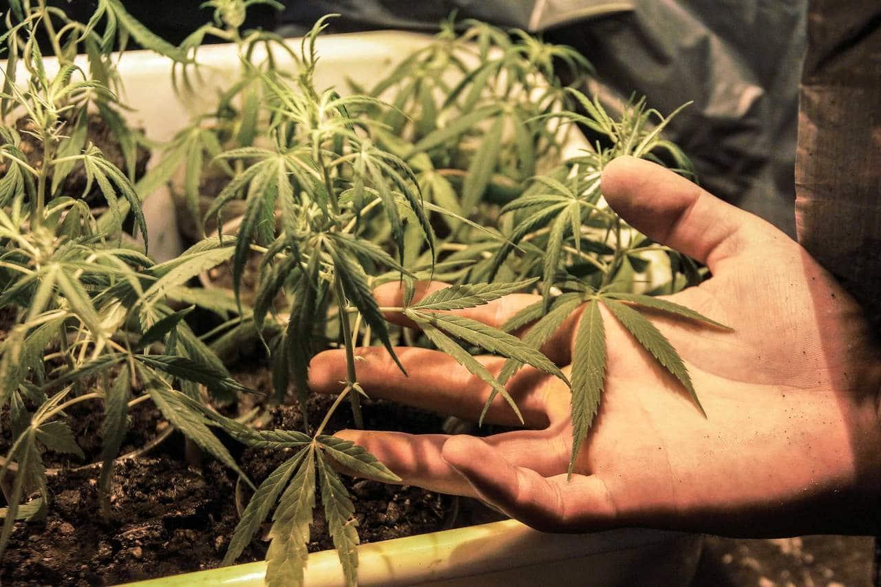 Nación Cannabis | 7 razones por las que la marihuana debe ser legal