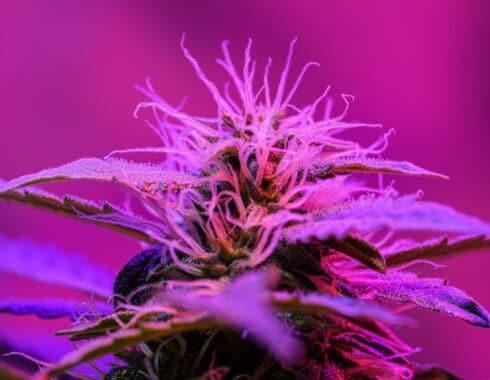 marihuana autofloreciente