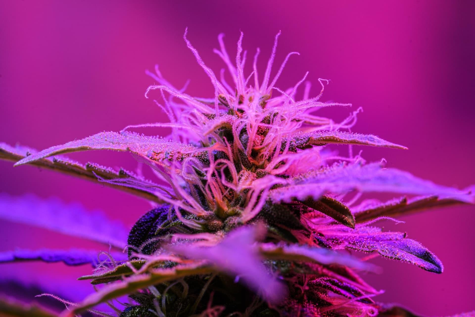 Nación Cannabis | Qué es la marihuana autofloreciente