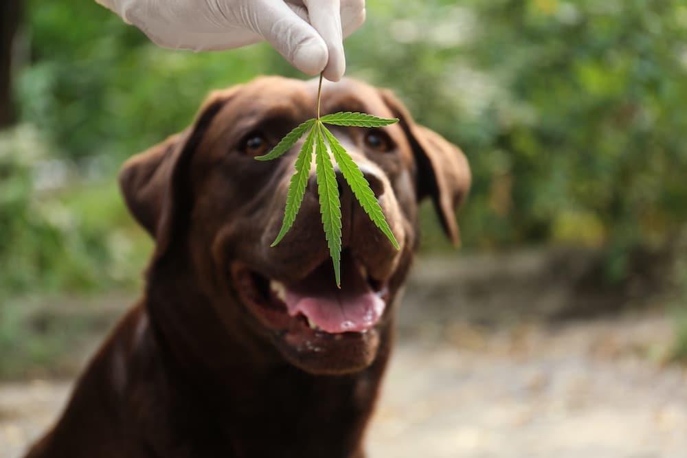Nación Cannabis | CBD: ¿puede beneficiar a tu perro?