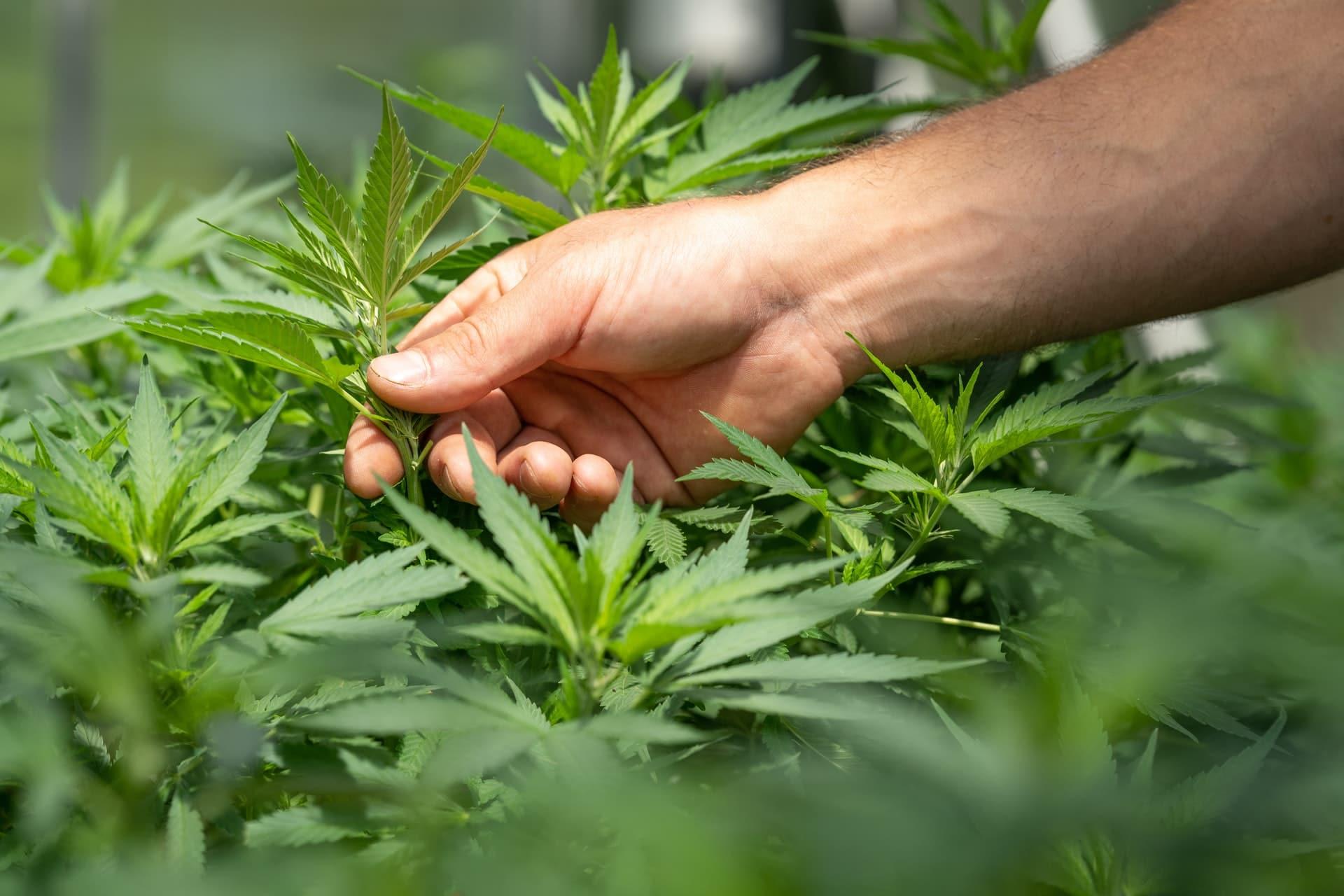 Nación Cannabis | Excesivo autocultivo de marihuana medicinal en Canadá