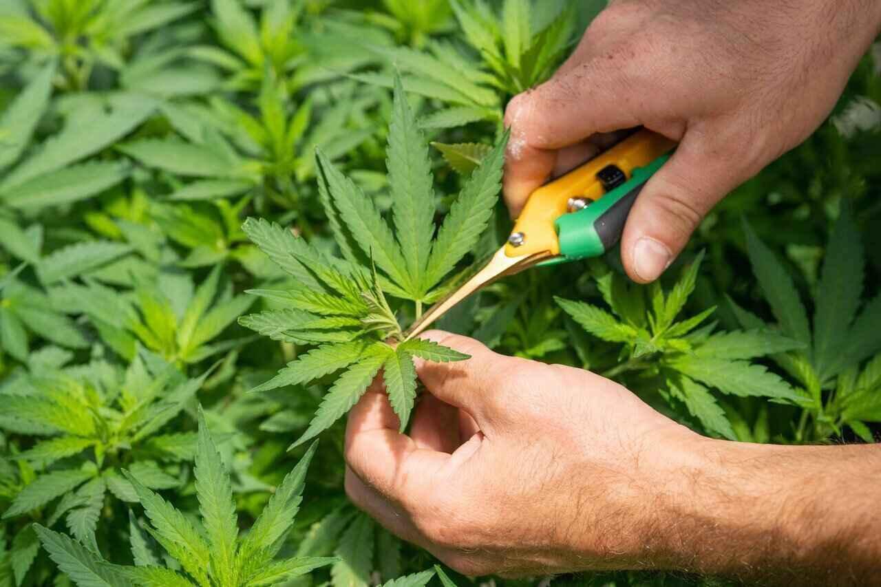 Nación Cannabis | CBD: Cannabis sin tabú