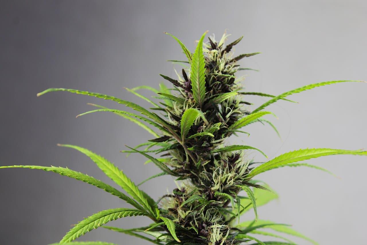Nación Cannabis | Cannabis: propiedades medicinales a través de la historia