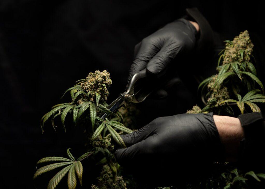 cómo crear negocio cannabis