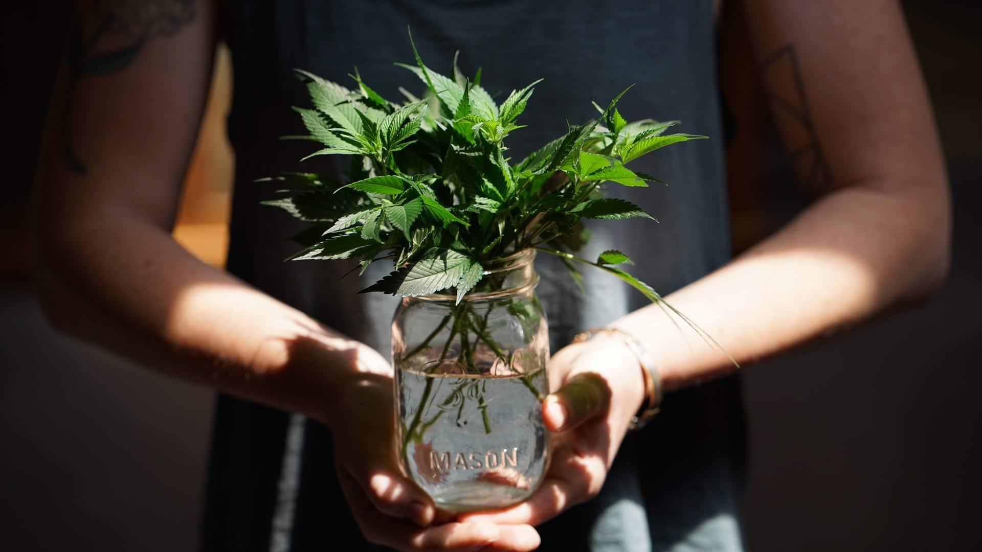 Nación Cannabis | Panamá: Congreso aprueba uso de cannabis terapéutico