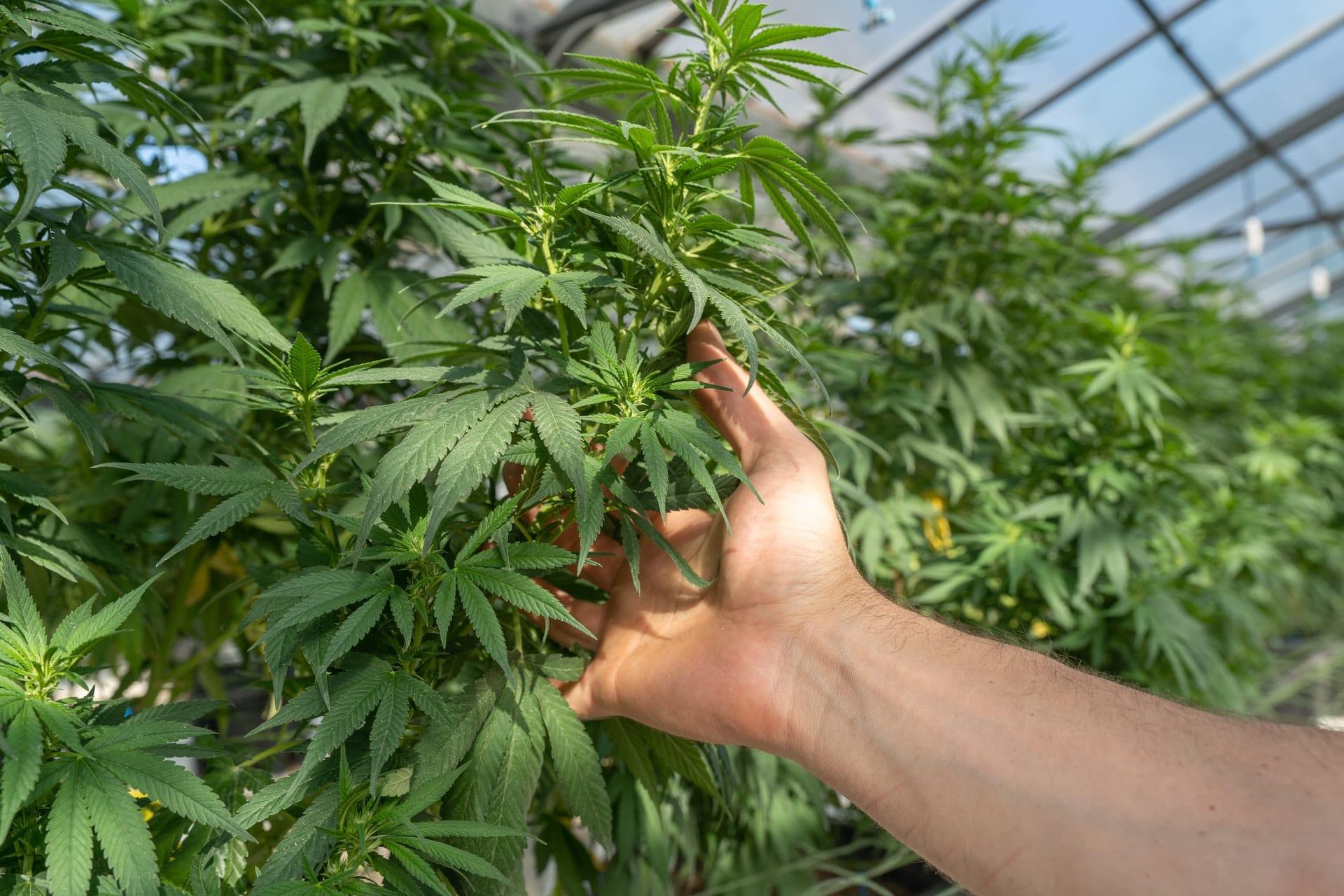 Nación Cannabis | Este es el costo de cultivar cannabis en México
